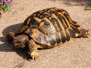 Zugel_griechische Landschildkröte Weber_11-5-15