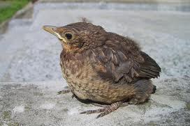 Jungvogel Bild Vogelwarte Sempach